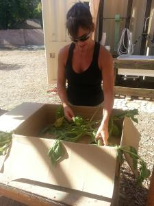 Megan Harris prepares veggies for delivery