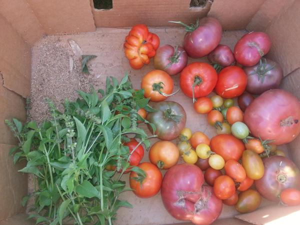Spring  tomatoes and basil
